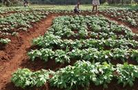Export opportunities: High hopes for British seed potatoes in Kenya