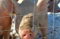 Pig farmers given five years to phase out zinc oxide