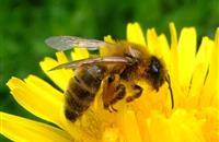 Neonics damage bee socialization and learning skills, study reports