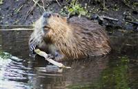 Farmers warn of beaver damage as new research praises biodiversity benefits