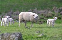 Ten lambs stolen in Yorkshire as police warn of increasing number of livestock crimes