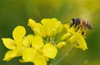 Bees 'risking extinction' from neonicotinoids, new study says