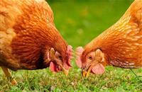 Industry urges organic derogation extension or face 'major welfare concern'