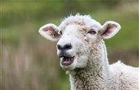 Sheep rustlers steal 14 sheep and 22 lambs from North Yorks farm