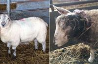 Lambs have ears ripped off in suspected dog attack on Scottish Borders farm