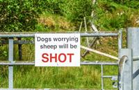 Three sheep dead and 35 injured in Herefordshire dog attack