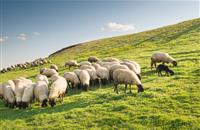 UK could see 30 per cent lamb export boost to US