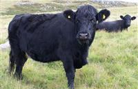 Welsh Livestock Champion Award launched, winner wins £300