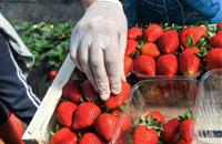 Farmers facing difficulty recruiting despite record number of EU workers