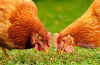 Bird flu: Egg industry criticises govt for reluctance to deal with backyard flocks