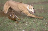 300 incidents of hare coursing reported in just one month