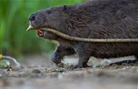 Farming industry concern as beavers return to Forest of Dean