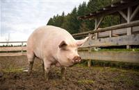 UK pig stud secures biggest ever export order to China