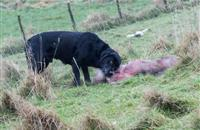 Police release photo of black Labrador killing sheep in Lancashire