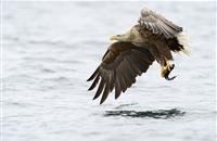 Bird flu found in white-tailed sea eagle in Ireland