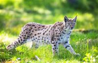 Sheep industry supports Scottish Minister's pledge against lynx release