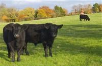 New research network involving 3,500 cattle aims to promote innovation