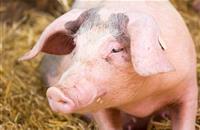 Pig industry tells Defra to simplify new animal welfare codes