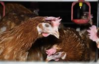 British Egg Industry Council imposes suspensions following video footage release
