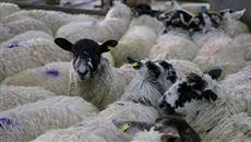 Exchange rate limits sheep sales to home market