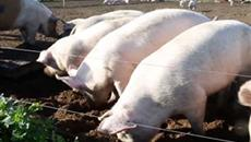 Pig industry set to improve