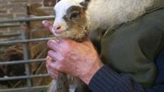 Pennine farm witnesses lambing season commence 4 months early