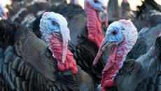British turkey farmers label 2016 'an incredible year'