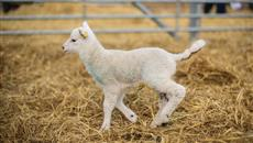 Spring is here! Thousands flock to watch new lamb arrivals