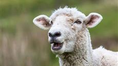 Sheep can recognise human faces from photographs