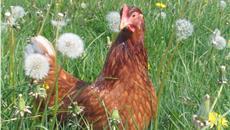 Benefits of Free Range Eggs