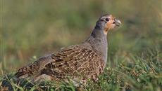 Grey Partridge has dramatically declined in the past 30 years