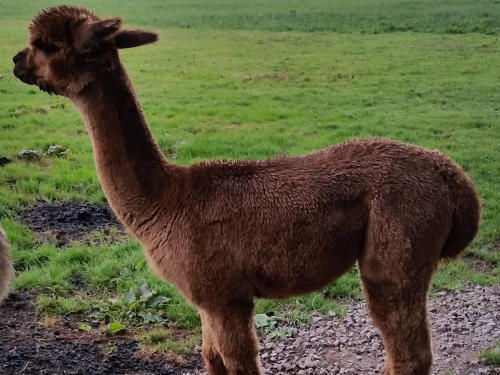 Hensting Alpaca Walking Experience