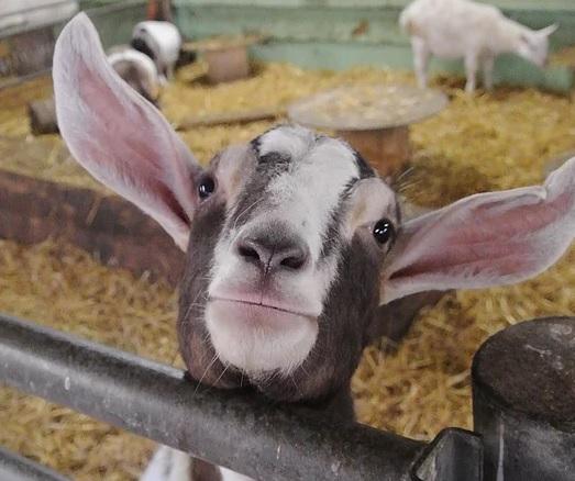 The Bucks Goat Centre