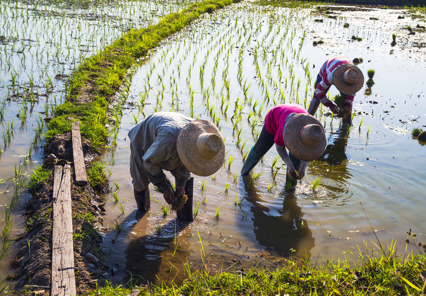 Demand for rice is growing in an increasingly challenging environment
