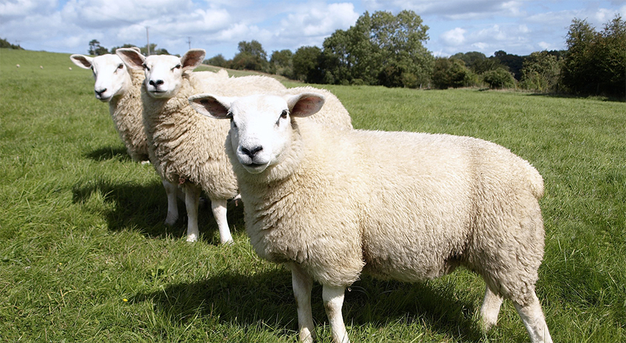 AHDB's comments coincided with the publication of the World Sheep Meat Market to 2025 report – produced by AHDB Beef & Lamb and the International Meat Secretariat (IMS)