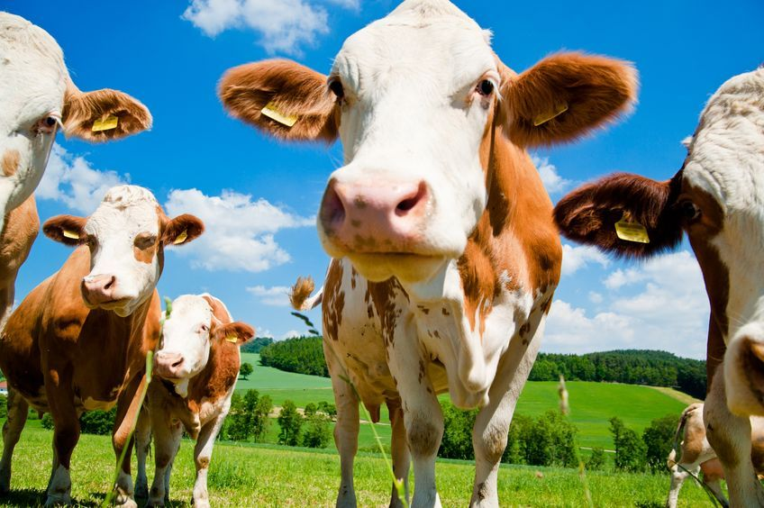 Only in rare cases will some animals die or need to be culled for welfare purposes. In cattle there may be long-term production losses (e.g. reduced milk yield) in recovered animals
