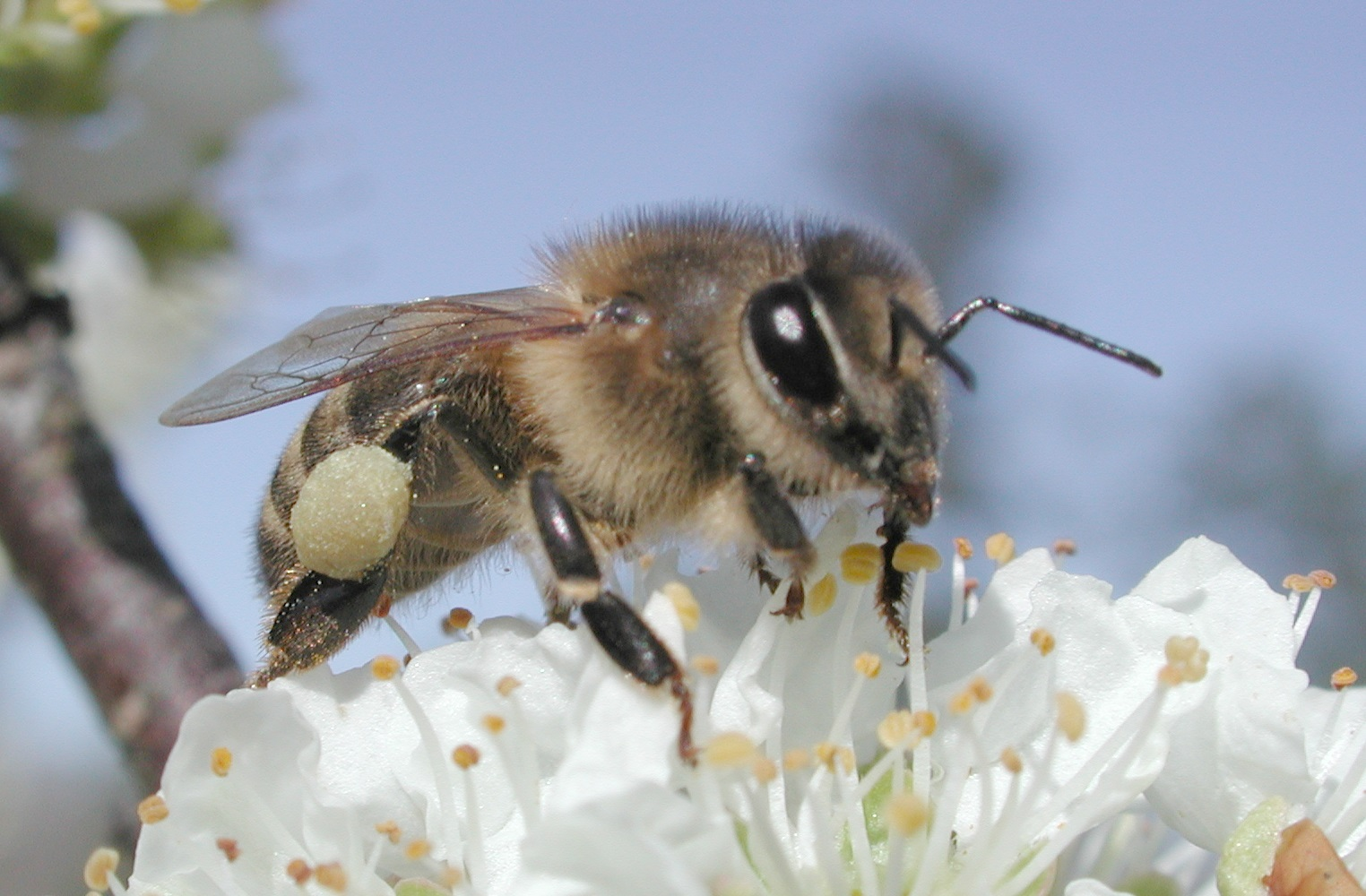Honeybees are affected by a banned EU pesticide... but their counterparts, bumblebees, are not