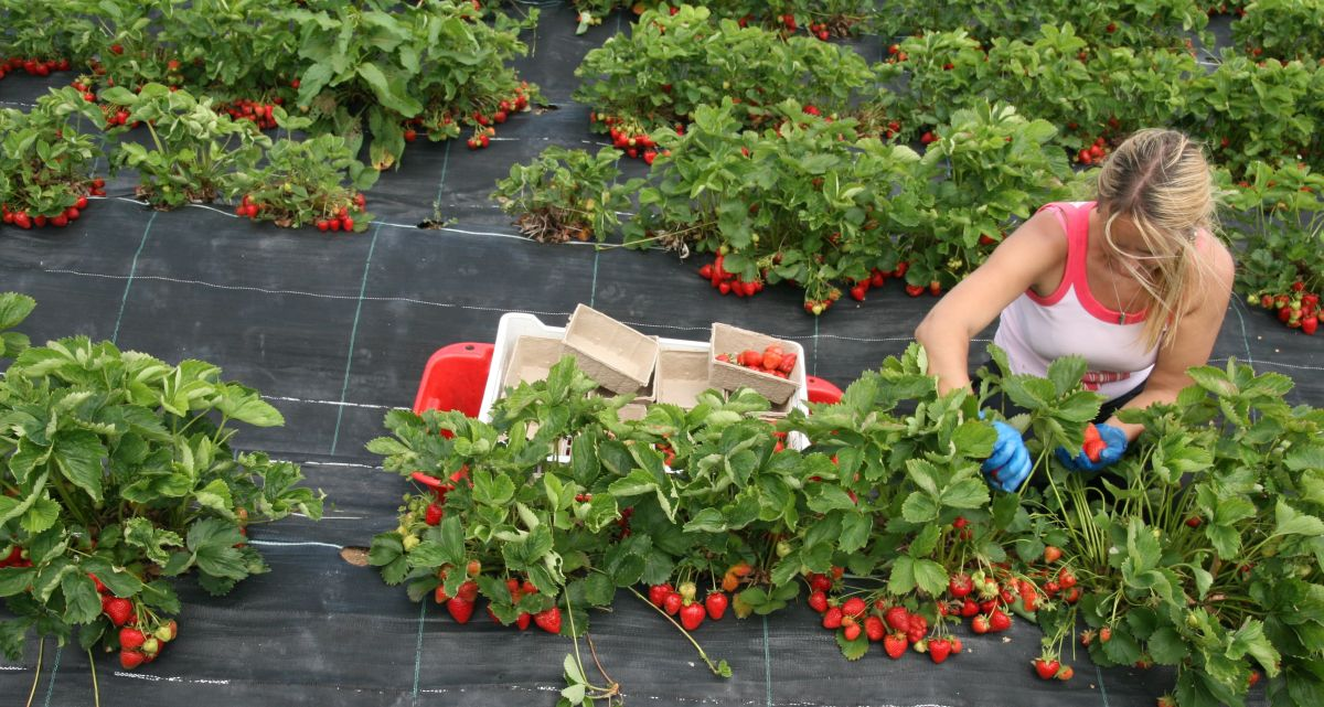 A British organic strawberry farm (Photo: Riverford Organic Farm)