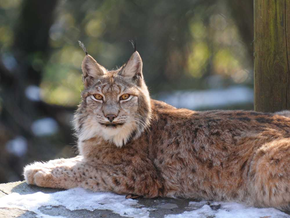 Releasing lynx into the countryside has been spoken about