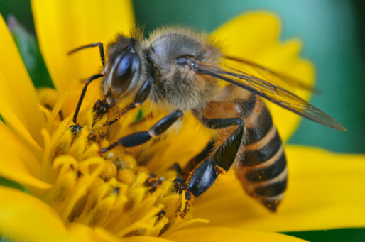 The native honey-bee (pictured) is at risk of the new invasive species