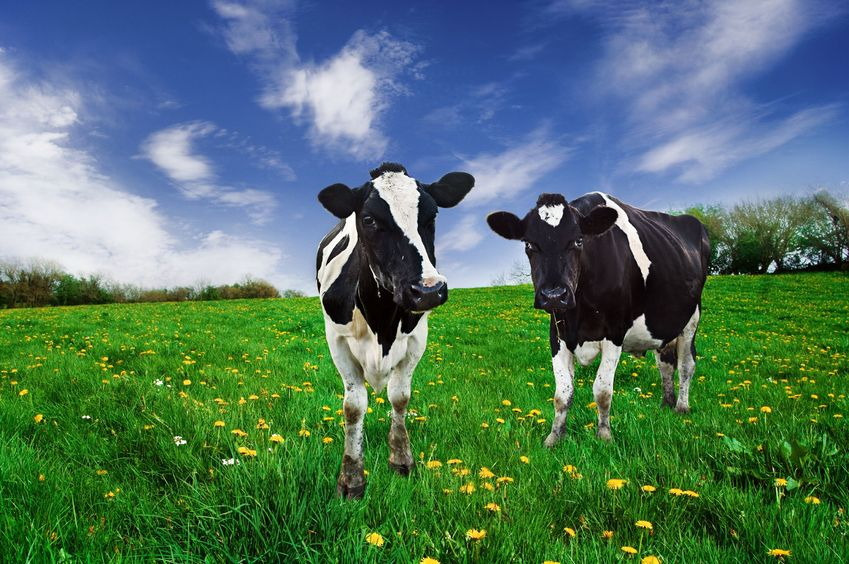 We are so used to seeing fields of cows, most commonly the Holstein-Friesian breed