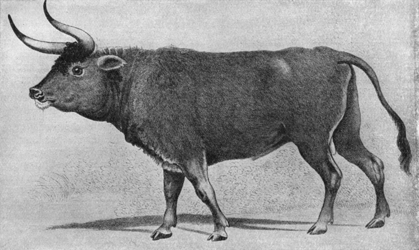 Nazi zoologists were commissioned by the Nazi party to produce a breed of cattle based on aurochs (the Aryan Cow)