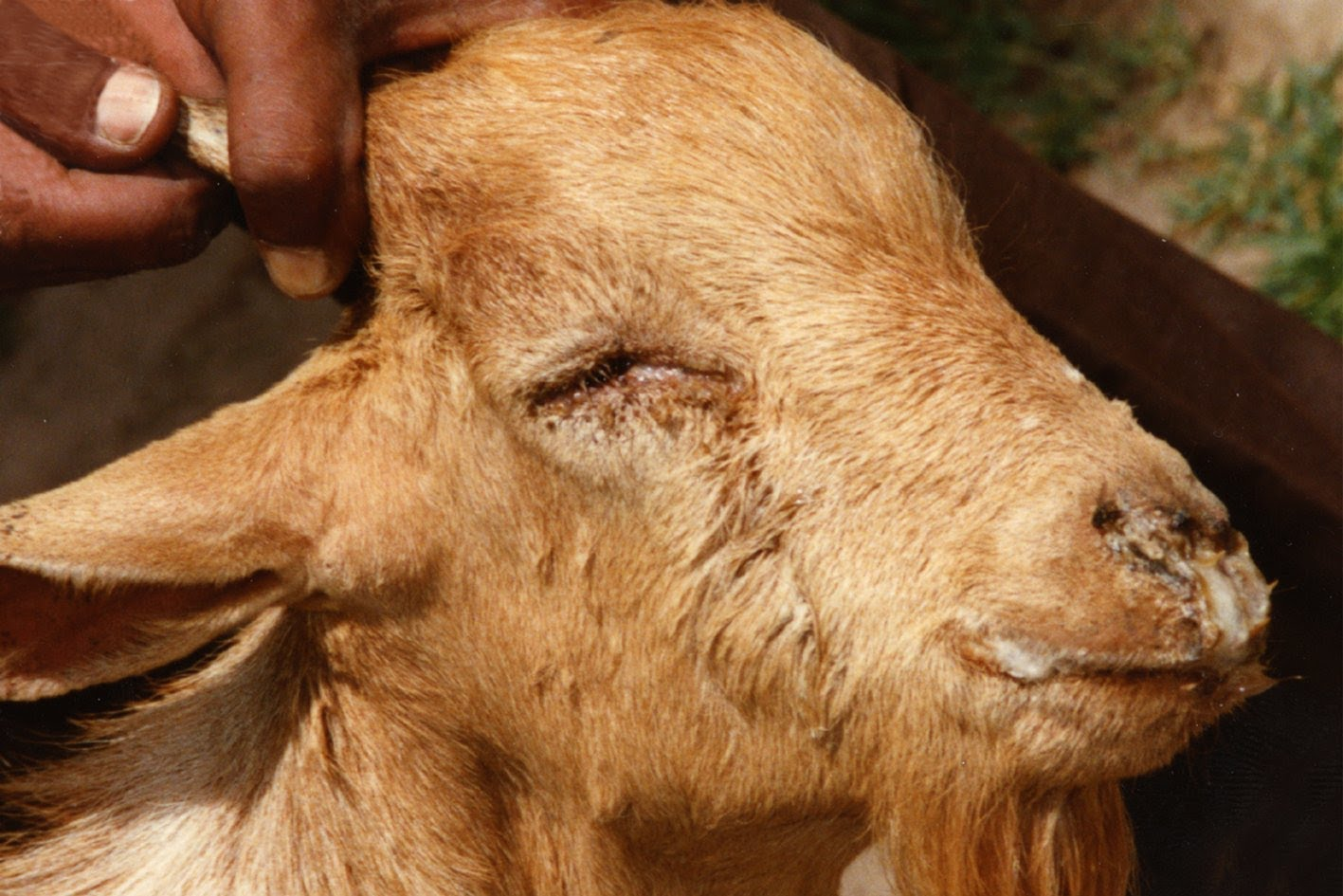 The disease is highly lethal to small ruminants – killing up to 90 percent of infected animals
