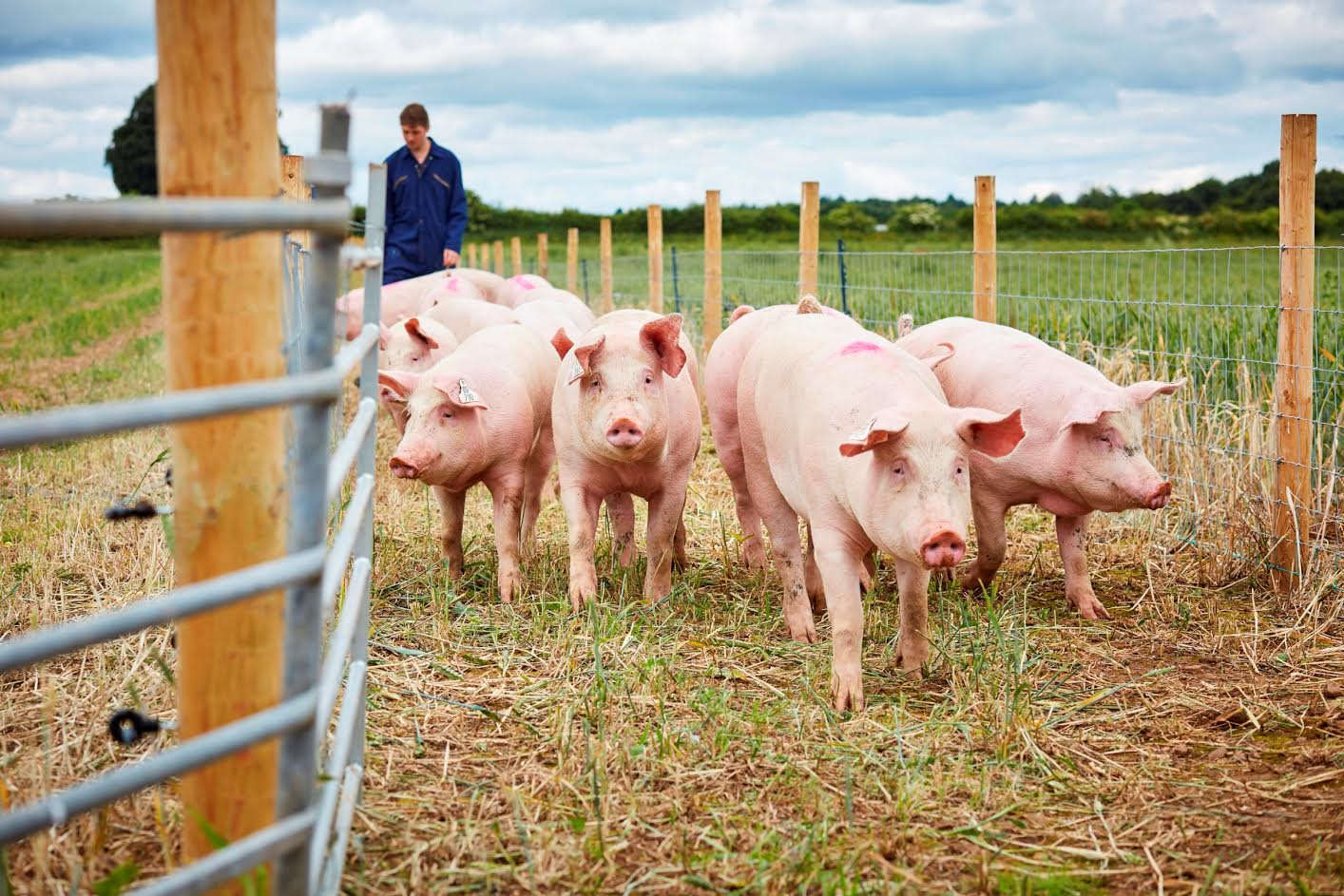 Multi-million pound investment in pig research to come to Yorkshire