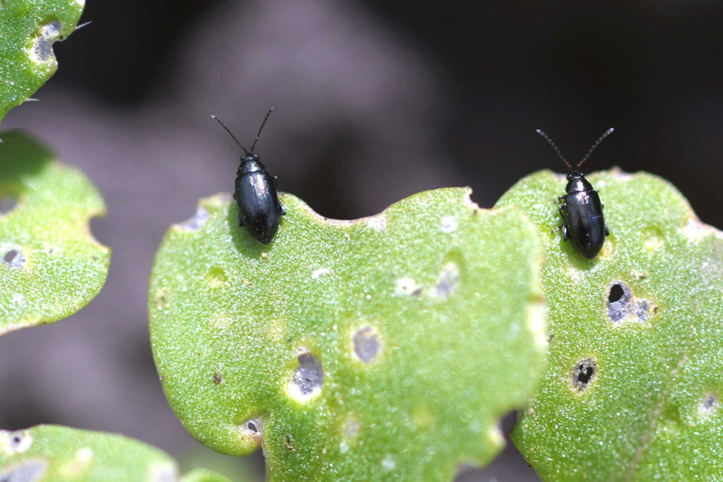 Flea beetle damage is the main culprit for the poor figures