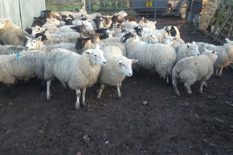 The flock of sheep that police believe was stolen (Photo: North Yorkshire Police)