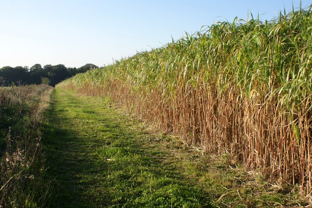The giant Asian grass 'elephant grass' on Britain