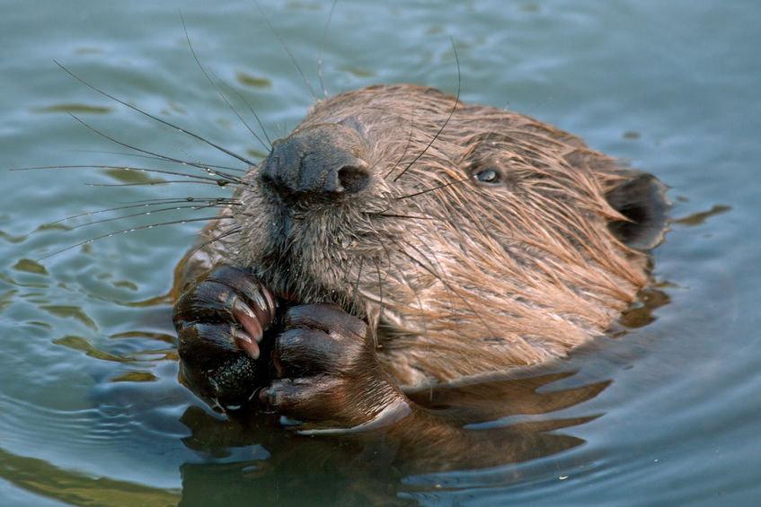 The project hopes to show that beavers can help create new wildlife habitat, make water cleaner and crucially reduce flooding
