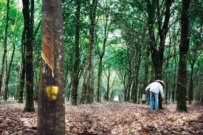 A rubber tree plantation in Thailand