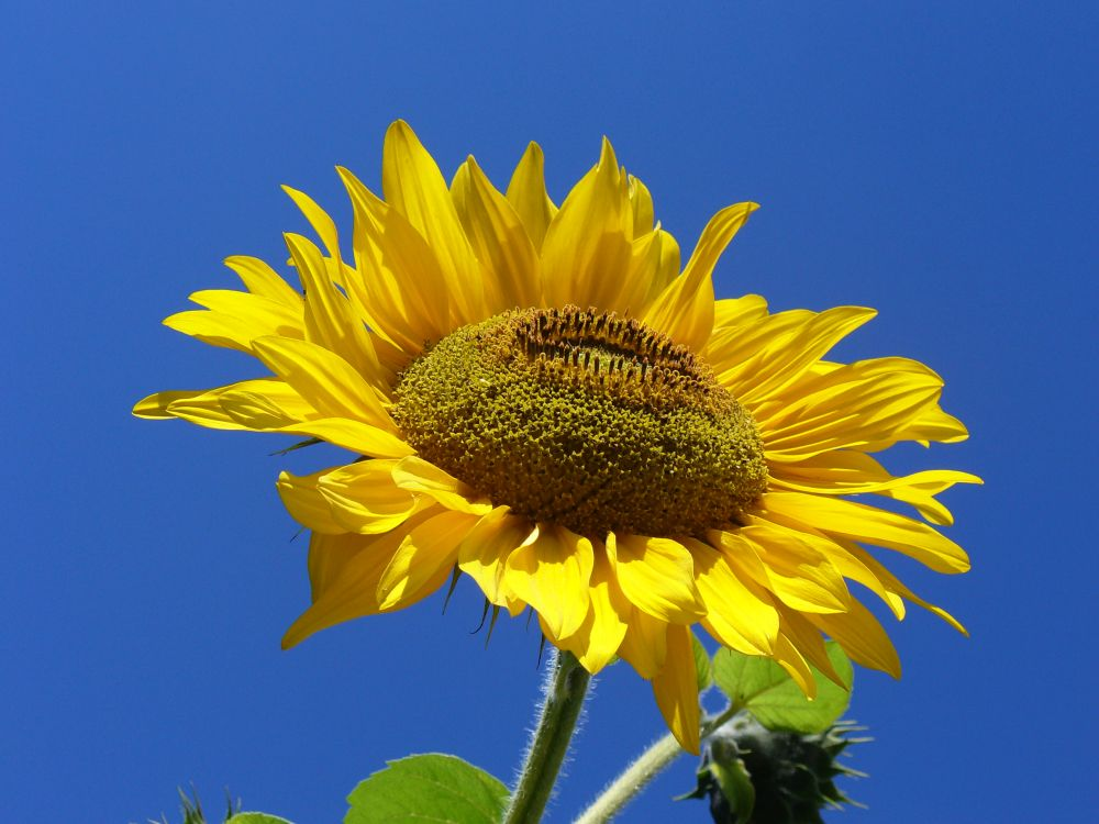 Sunflower genome sequence to provide roadmap for more resilient crops (Photo: Marcin Szala)